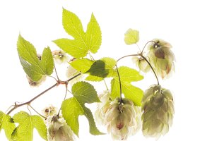 Twig of hops