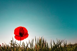 A poppy in a meadow