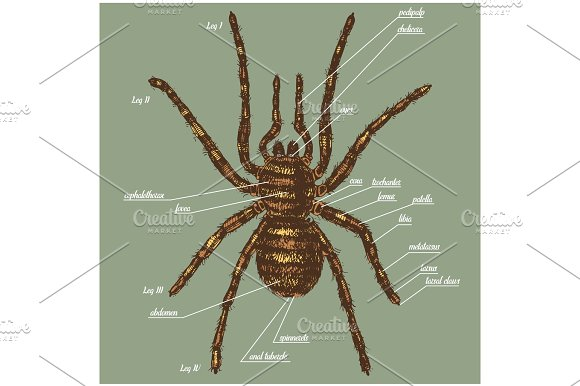 Illustration Of A Spider Anatomy Include All Name Of Animal Parts Birdeater Species In Hand Drawn Or Engraved Style Arachnology