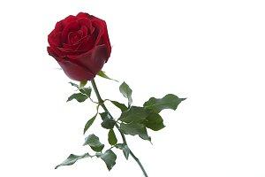 Single beautiful red rose