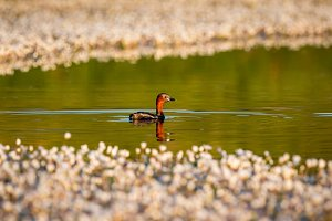 Little grebe swim