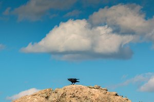 Black crow on a big stone