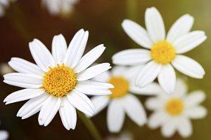 Macro of daisies