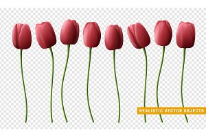Flower tulip realistic isolated on transparent background.