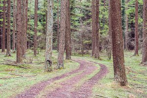 Trails in a pine forest