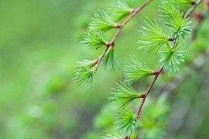 Pine branch detail on green