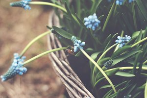 Bee on a hyacinth flower