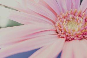 Pretty Pink Gerbera Flower