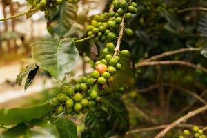 Coffee plantation in Da Lat, Vietnam