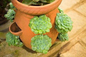 Green Echeveria succulent in the ceramic pot