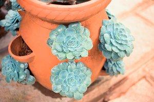 Green Echeveria succulent in the pot