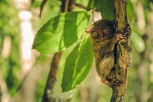 Tarsier monkey in Cebu, Philippines- Tarsius Syrichta
