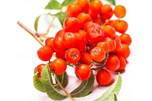 Rowan berries isolated