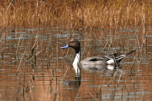 Pintail Duck In Freshwater Marsh