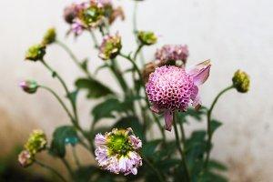 Chrysantemum Detail in Violet