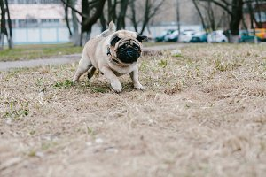 Dog breed Pug runs on the grass