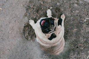 Dog breed Pug looks up