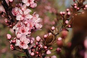 pink spring blooming.