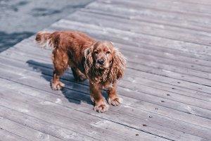 Sad dog on the dock