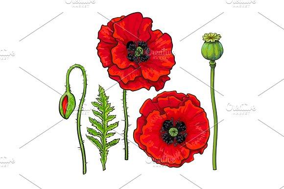 Hand Drawn Set Of Red Poppy Flower Bud Pod Leaf