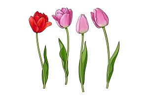 Hand drawn set of side view red, pink tulip flower