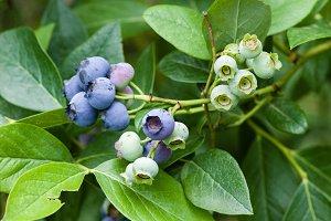 Blueberry fruit on the bush
