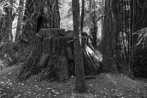 Ghost in the Redwoods