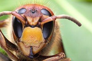Macro shot of hornet