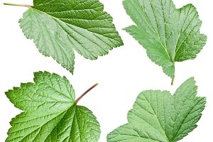 Currant leaves isolated