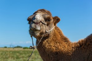 Muzzle of camel