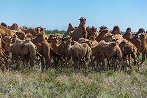 A camel eats a grass