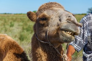 Muzzle of camel,