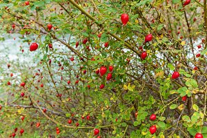 bush of brier with ripe red berries