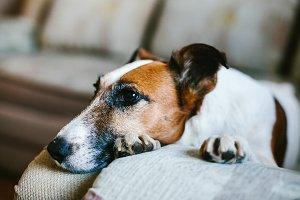 Fox terrier dog breed