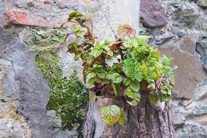 Plant in the Stone Wall