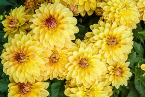 Yellow chrysanthemum floers in bloom