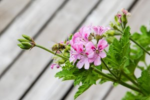 Pink geranium flower in bloom