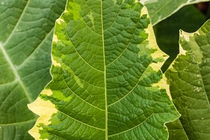 Variegated green leaf with yellow edge