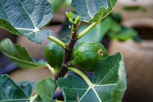Green figs on a bush