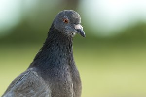 Grey pigeon on green background