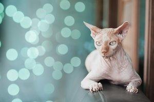 close up sphynx cat