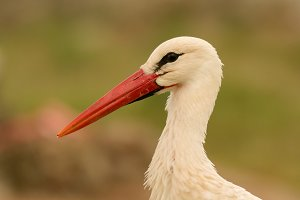 Portrait of a stork