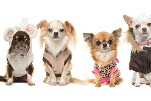 Dressed chihuahua dogs