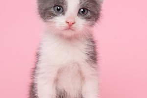 Grey and white kitten cat