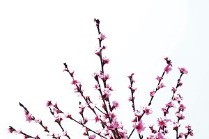 Plum Blossoms on white background