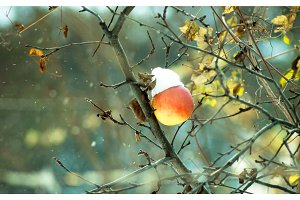 Frozen winter apple on a tree in snow and wind