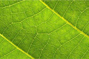 Green leaf texture with veins