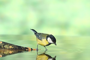 Bird drinking water.