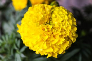 Dianthus Chinensis in Yellow