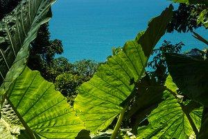 Backlit Banana Leaves